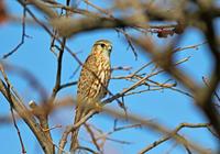 ・コチョウゲンボウ - 鳥見撮り