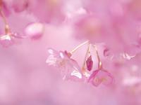 満開 妙典の河津桜 - いや、だから 姉ちゃん じゃなくて ネイチャー・・・