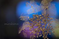 枯れ紫陽花の変身~♪ - MIRU'S PHOTO