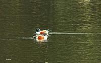 ハシビロガモ - barbersanの野鳥観察
