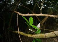 台湾の小灰蝶(シジミチョウ)②&見沼田んぼ越冬蝶2018年度 - ヒメオオの寄り道
