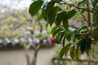 雨の花の寺巡り - kisaragi
