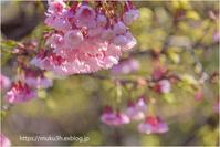琉球寒緋桜 - muku3のフォトスケッチ