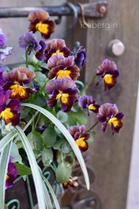 アンティークカラーのビオラが綺麗です♡ - 小さな庭 2