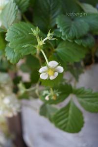 ワイルドストロベリー - 小さな庭 2