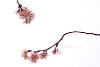 我が恋桜・・ - 花々の記憶
