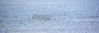 昨日のザトウクジラ - 三宅島風景