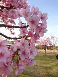 早咲きの桜たち  長居公園 - 山庭居 ~庭に居ます~