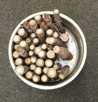 タラの芽水耕栽培 - 海辺のキッチン倶楽部もく