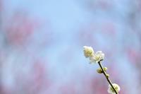 梅の花 - 高原に行きたい