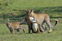 エジプト、ケニア縦断の旅(10)、狩りに成功したヒョウのママ - 旅プラスの日記