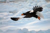 流氷とオオワシ - 比企丘陵の自然