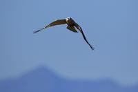 ケアシノスリ⑦狩りの態勢 - 気まぐれ野鳥写真