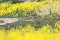 ケアシノスリ⑧菜の花から - 気まぐれ野鳥写真