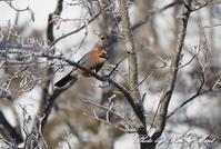 北の大地遠征3日目初見♪初撮り♪「ミヤマカケス」さん♪ - ケンケン&ミントの鳥撮りLifeⅡ