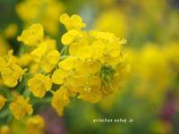 菜の花@京都府立植物園の早春の草花展 - アリスのトリップ