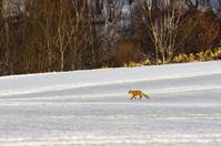 キタキツネも春を待つ - ekkoの --- four seasons --- 北海道
