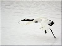 家から40分で丹頂鶴(2) - 北海道photo一撮り旅
