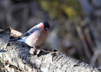 苔が大好き...アカウソ - 野鳥...四季折々