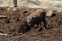 掘るイノシシと埋めるリス - 動物園へ行こう