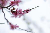 今年は梅の当たり年 - 彩りの軌跡