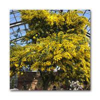 ミモザの季節 - 雪割草 - Primula modesta -