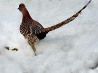 雪とヤマドリ - トドの野鳥日記