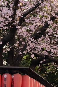 青山豊川稲荷の江戸彼岸桜 - 錦眼鏡