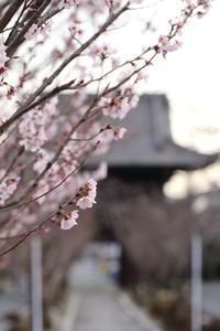 早咲きの桜 - ecocoro日和