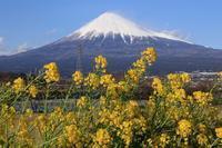 雁堤の菜の花 - 富士山大好き~写真は最高!