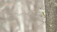ヤマゲラ - 北の野鳥たち