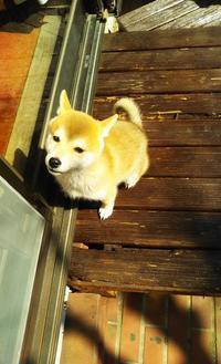 柴犬・雪姫~その3 - 三千綱ブログ