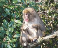 野生のお猿さん@愛媛 - アリスのトリップ