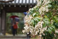 雨の花の寺巡り 3 - kisaragi