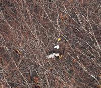 此処でも居た猛禽類 - ノラニンジンの咲く庭