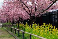 桜咲く京都2019淀水路の河津桜 - 花景色-K.W.C. PhotoBlog
