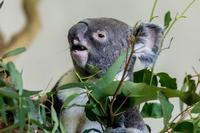 起きていたコアラ - あだっちゃんの花鳥風月
