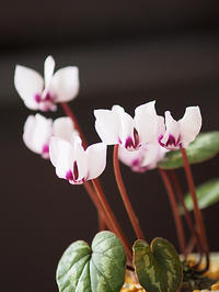 原種シクラメン - 花ごよみ~山野草に魅せられて~