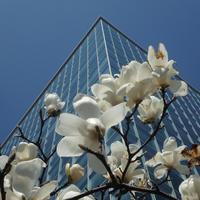 ビル街の木蓮が今年も咲きました。 - ご無沙汰写真館
