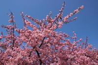 河津桜@伊勢崎市(2) (2019/3/12撮影) - toshiさんのお気楽ブログ