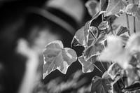 An Ivy Watcher - SILENT SOLILOQUY