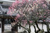 梅ちらほら~道明寺天満宮 - katsuのヘタッピ風景