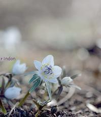 早春の花セツブンソウ - 旅のかほり
