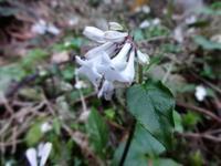 薩摩稲森 - だんご虫の花