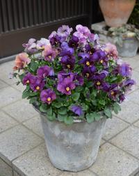 花盛りのビオラ・アルスノーヴァ - ヒバリのつぶやき