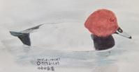 #野鳥スケッチ #ネイチャー・ジャーナル『星羽白』Aythya ferina - スケッチ感察ノート (Nature journal)