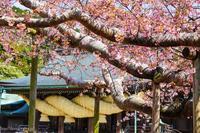 宮地嶽の桜 - ショーオヤジのひとり言