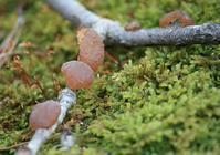 万願寺、雨上がりの森で琥珀玉と出会う。 - 万願寺通信