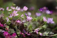 雪割草 - Flores*Flores