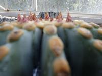 キラキラサボテン@小温室 - 手柄山温室植物園ブログ 『山の上から花だより』